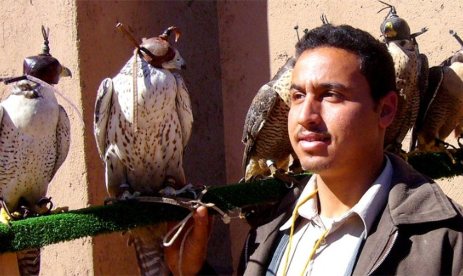 Falcons in Morocco with handler