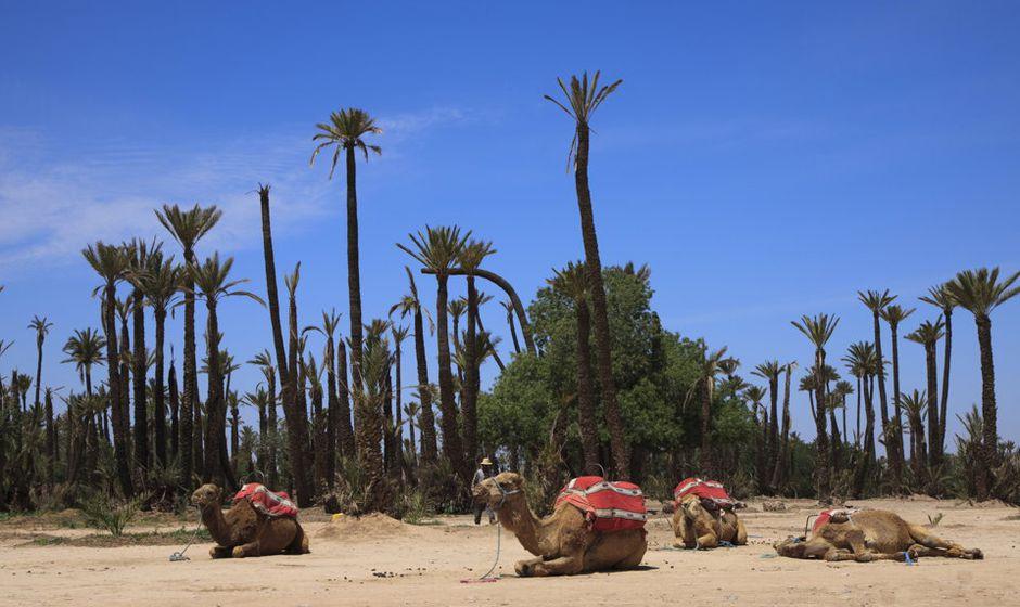 camel ride marrakech morocco